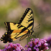 Swallowtail Sweetness Poster
