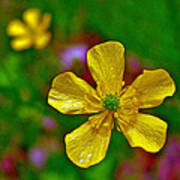 Swamp Buttercup Near Loon Lake In Sleeping Bear Dunes National Lakeshore-michigan  Poster