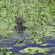 Swamp Gator Poster