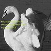 Swan Black And White Poster
