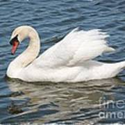 Swan On Blue Waves With Border Poster