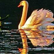 Swan On Rockland Lake Poster