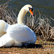 Swan Protects Her Eggs Poster