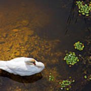 Swan With Sun Reflection On Water. Poster
