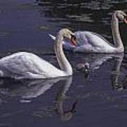 Swans And Signet Poster