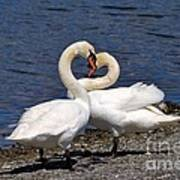 Swans Courting Poster