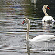 Swans On The Lake - Limited Edition Poster