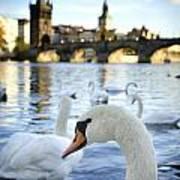Swans On Vltava River Poster by Jelena Jovanovic