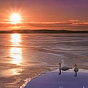 Swans Sunrise Poster