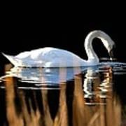 Swan River Poster