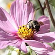 Sweet Bee On Pink Cosmos Poster