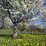 Sweet Cherry Orchard In Full Bloom Poster