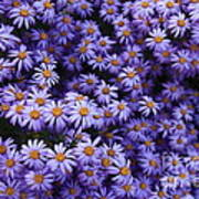 Sweet Dreams Of Purple Daisies Poster