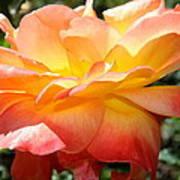 Sweet Juliet Rose Poster