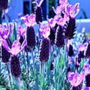 Sweet Lavender Poster