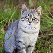 Sweet Little Tabby Kitten Poster