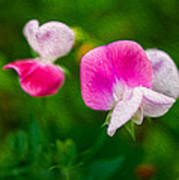 Sweet Pea Blossoms Poster