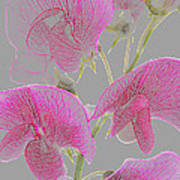 Sweet Pea Flowers Converted To Coloured Pencil Drawing Poster