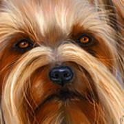 Sweet Silky Terrier Portrait Poster