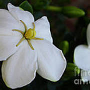 Sweet Smell Of Gardenias  Poster