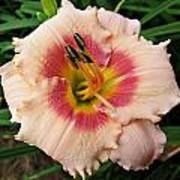 Sweet Sugar Candy Daylily Poster