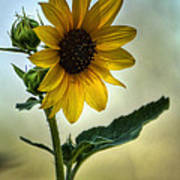 Sweet Summer Sunflower Poster