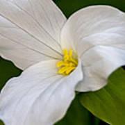 Sweet White Trillium 5 Poster