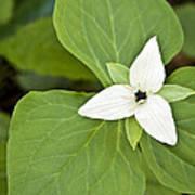 Sweet White Trillium Poster