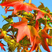 Sweetgum Leaves In Autumn Poster
