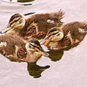 Swimming Ducklings Poster
