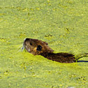 Swimming In Pea Soup - Baby Muskrat Poster