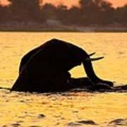 Swimming Kalahari Elephants Poster