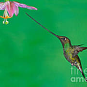 Sword-billed Hummer Poster