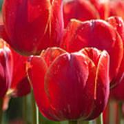 Symbolic Tulips Poster