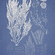 Symphocladia Linearis Poster