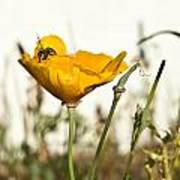 Syrphid Fly And Poppy 2 Poster