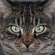 Tabby Cat Face Poster