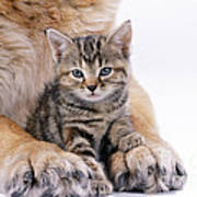 Tabby Kitten Between Large Dogs Paws Poster