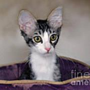 Tabby Kitten In A Purple Bed Poster