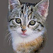 Tabby  Kitten An Original Painting For Sale Poster