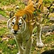 Tabby Tiger IIi Poster