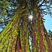 Tahoe Trees - Lake Tahoe By Diana Sainz Poster