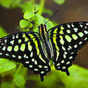Tailed Jay Butterfly  Poster