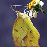 Tailed Orange Butterfly Poster