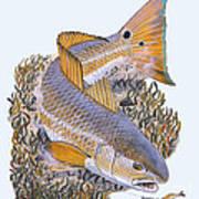 Tailing Redfish Poster