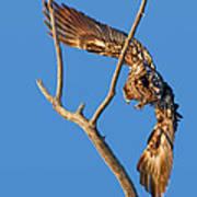 Taking Flight - Immature Bald Eagle Poster