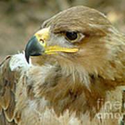 Tawny Eagle-11 Poster