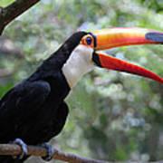 Talkative Toucan Poster
