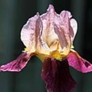 Tall Bearded Iris Named Indian Chief Poster