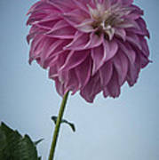 Tall Dahlia Poster